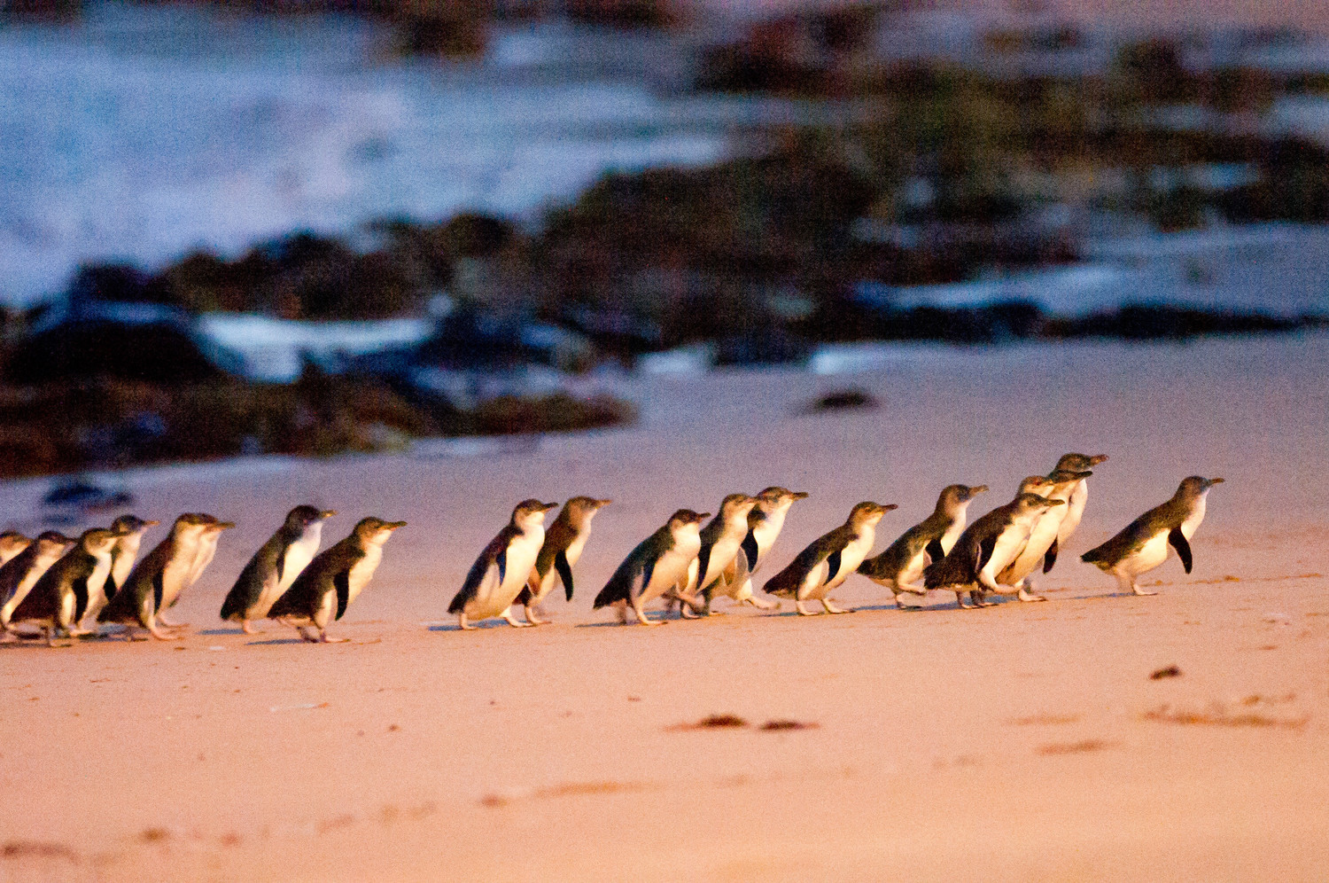St Kilda Penguins Or Phillip Island